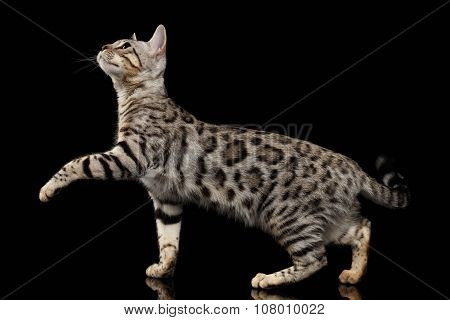 Walking Bengal Kitty At Profile View And Raising Paw On Black