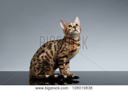 Bengal Kitty Sits And Looking Up On Dark