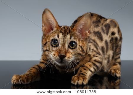 Closeup Playful Bengal Kitty On Dark Gradient