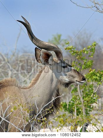An isolated portrait of a Kudu Bull
