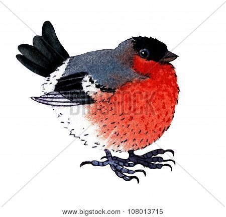 Watercolor Bullfinch On White Background