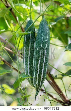 Closeup Snake gourds in the vegetable garden