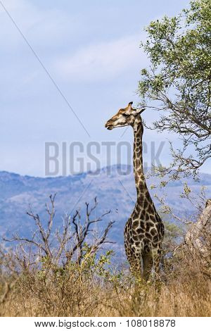 wild giraffe standing in savannah In Kruger National Park