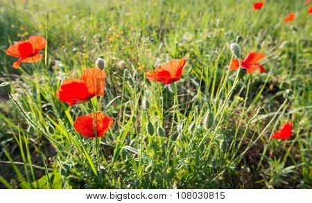 Red Flowering Translucent Poppies From Close