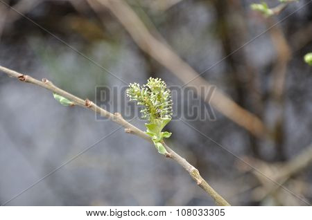 Feathery bud on a willow bush