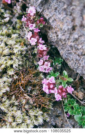 Wild Flowers In Iceland