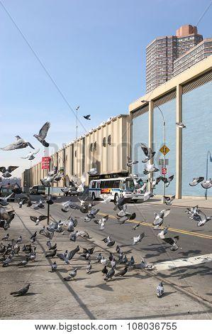 Pigeons In Manhattan
