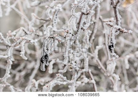 Branches Of Currants In A White Frost, Macro