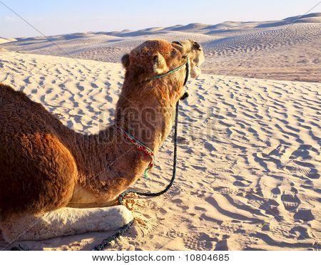 Camel Lying On The Sand In The Desert