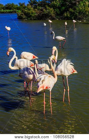 Flock of adorable pink flamingos. Exotic birds standing in a shallow lake.  Sunset in national park of Kamargue.  Delta of Rhone, Provence, France