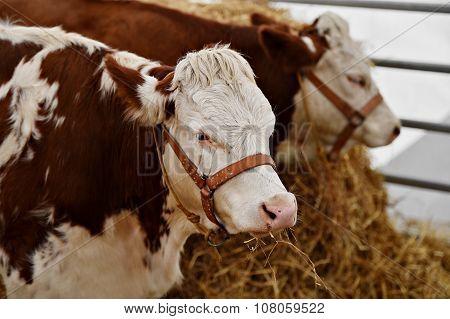 Domestic Cow Grazing In A Farm