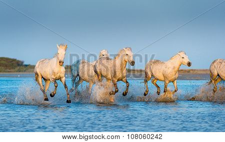Herd of White Camargue Horses running through water in sunset light.