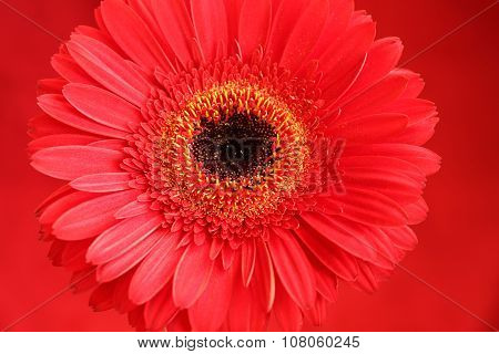 Red gerbera on red background