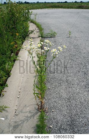 Oxeye Daisy in a Pavement Crack