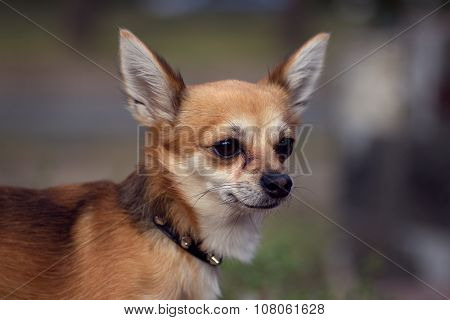 adorable chihuahua dog outdoors