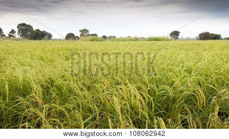 Rice Field After The Rain