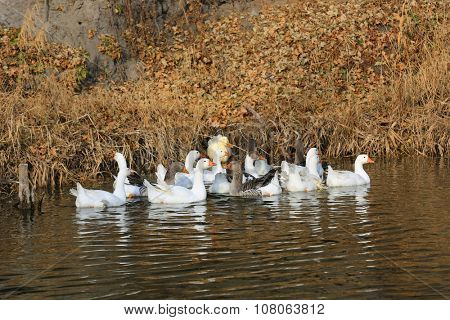 Group of ducks on lake at autumn day