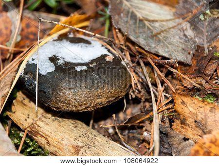 Lactarius Mushrooms In The Autumn Forest