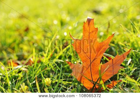 Maple leaf in Autumn on green grass illuminated by sunlight