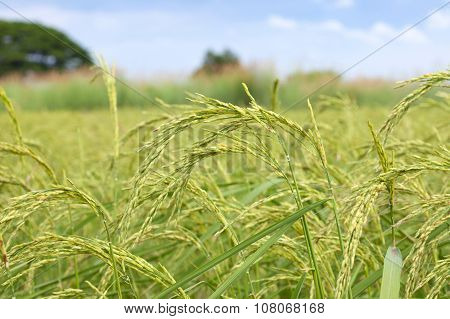 Yellow Ear Of Paddy, Rice Field In Thailand