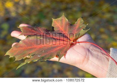 Maple Leaf Lies On Palm