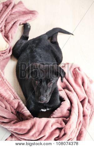 Pretty young black retriever on rosy blanket