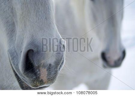 Horses Noses