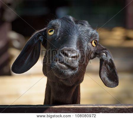Black Goat Closeup