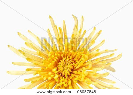 Vivid Yellow Chrysanthemum