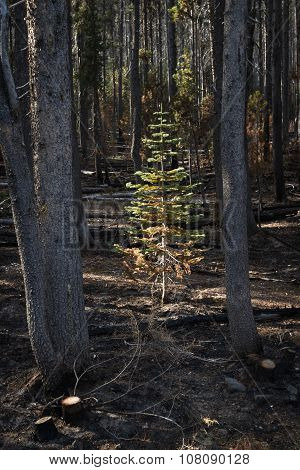 Young Tree Survives A Forest Fire