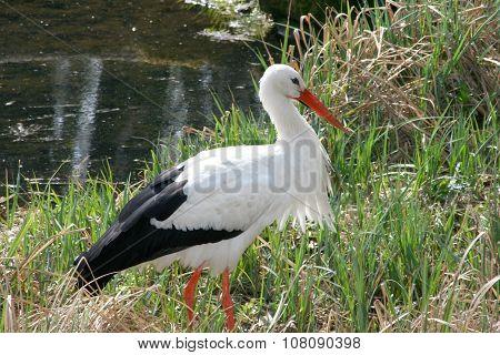 White Stork, (ciconia Ciconia)
