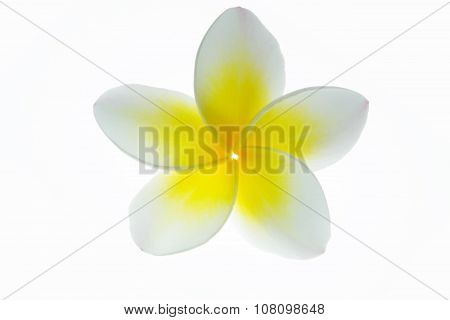 Frangipani (plumeria) isolated on white background.