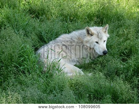 A wolf resting in the grass