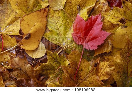 Wet Red Leaf Among Yellow Leaves.
