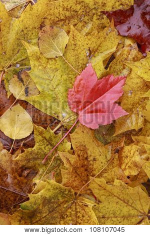 Autumn Red Leaf On Stack Of Yellow Leaves.