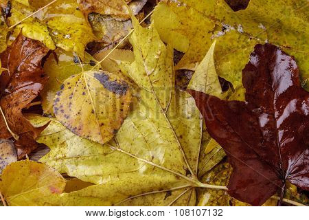 Close Up Of Wet Autumn Leaves.