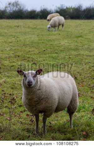 Three Sheep Grazing In Rural Northern Ireland Farmland