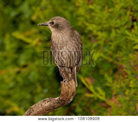 Juvenile Starling On Old Tree Branch