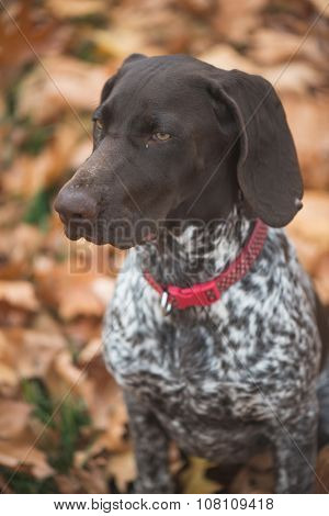 Cute Purebred German Pointer posing outdoor