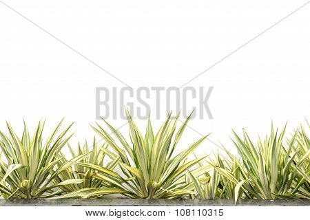 Green Agave Decorative Plant Isolated On White