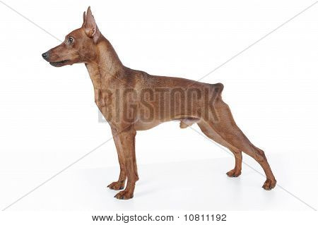 Miniature Pinscher.