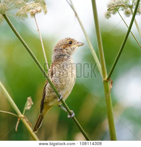Portrait Of An Young Red-backed Shrike