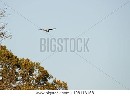 Buzzard Soaring Above Trees
