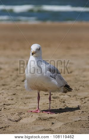 Seagull Standing On Sandy Beach In Zandvoort, The Netherlands