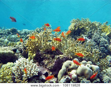 Coral Reef With Fire Corals And Fishes Anthias In Tropical Sea, Underwater