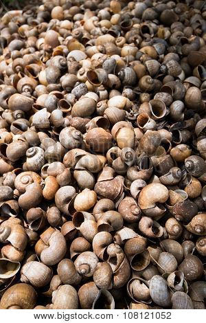 Snail Shells Accumulating In Snail Farm Asia