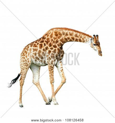 Jiraffe Isolated On White