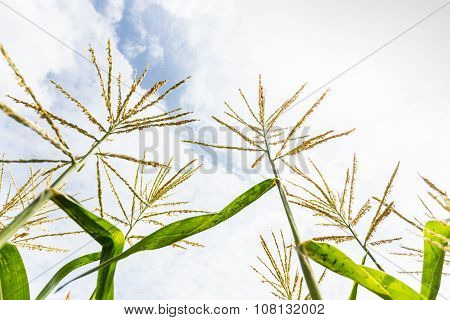 Corn Flowering Stage In Field And Blue Sky.