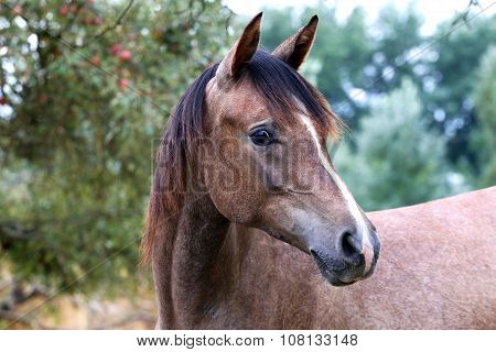 Beautiful Portrait Of A Purebred Arabian Horse