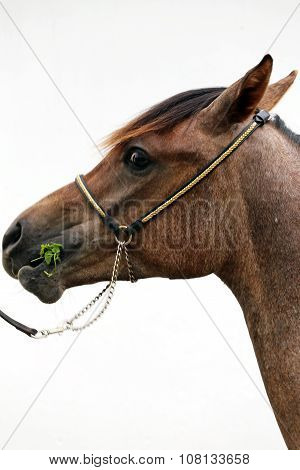 Thoroughbred Arabian Foal Grazing Against White Background